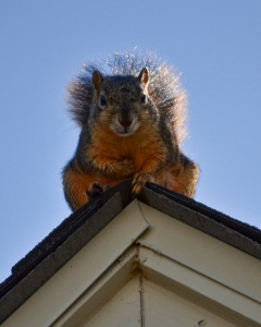 DANGER! Suspect is considered armed with nuts and hungry for electrical wires! Known to eat just about anything to get into the warmth of a cozy home's attic!